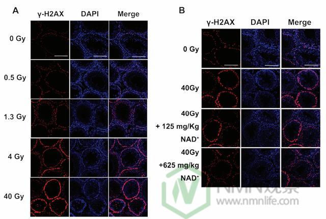 辅酶I可有效降低放化疗引起的毒副反应