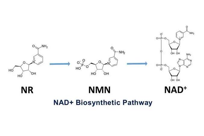 NMN是什么?为什么称之为「不死之药」?