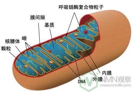 nmn的新功能:有望治疗心脏衰竭