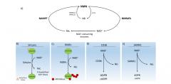 [学术文献]NAD+生物合成、衰老和疾病