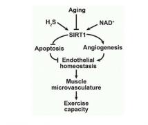 [学术文献]内皮NAD+-H2S信号网络的损伤是血管老化的可逆原因