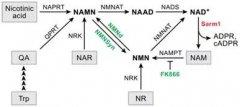化疗药引发轴突退化,致使NMN堆积