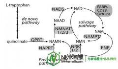 提升NAD+方式比较,烟酰胺/NAM可能是一个糟糕的策略