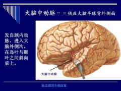NMN对脑组织重量和体积的保护作用